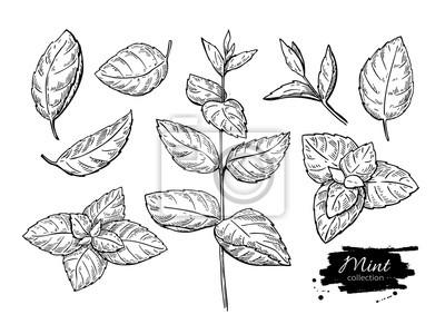 Sticker Mint vecteur dessin ensemble. Isolé, menthe, plante, feuilles À base de plantes