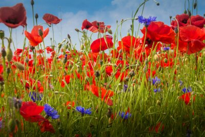 Sticker Mohnblumen - Le champ de pavot