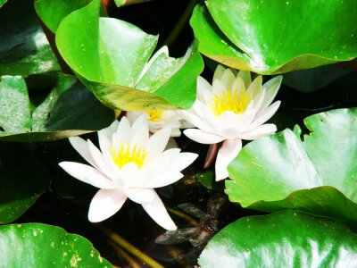 Nénuphar, vert, feuilles