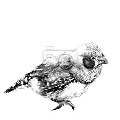 Sticker Oiseau Amadina Croquis Vecteur Graphique Dessin Noir Et Blanc
