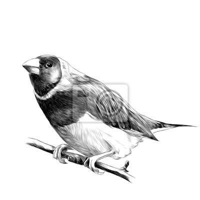 Sticker Oiseau De Pinsons Assis Sur Une Branche Dun Arbre Croquis Vecteur