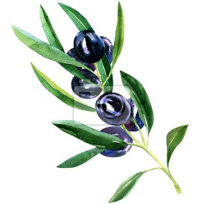 Olive, branche, mûre, noir, olives, isolé, aquarelle, Illustration