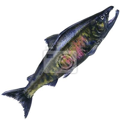Pacifique, chum, saumon, frais, capturé, fish, isolé, aquarelle, Illustration