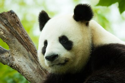 Sticker Panda asleep