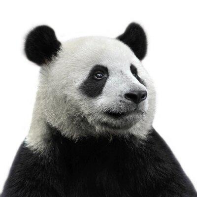Sticker Panda Bear isolé sur fond blanc