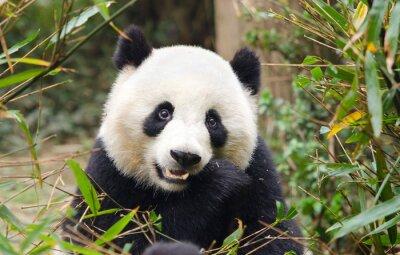Sticker Panda géant mangeant le bambou, Chengdu, Chine