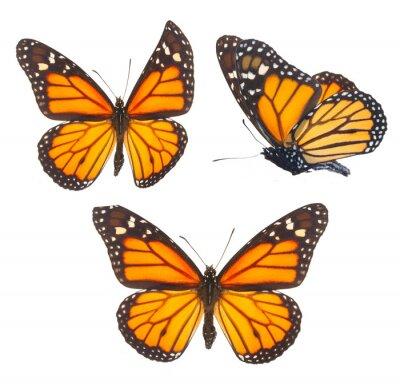Sticker Papillon monarque