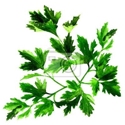 Persil vert frais isolé, illustration d'aquarelle sur blanc
