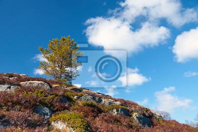 Petit arbre de pin sur la montagne rocheuse en Norvège