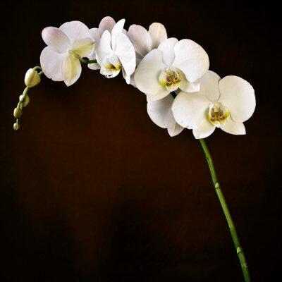 Sticker Phalaenopsis aphrodite orchidées