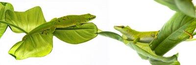 Sticker Phelsuma madagascariensis - gecko isolé sur blanc
