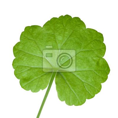 Photo Gros plan vert feuille de géranium isolé sur blanc