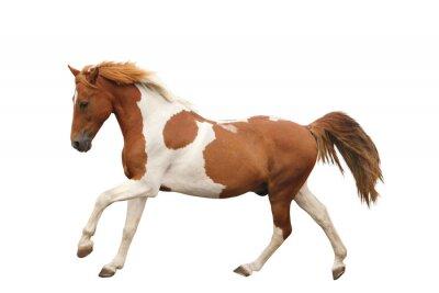 Sticker Pie poney au galop isolé sur blanc