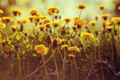 Sticker Pissenlit fleurs au coucher du soleil contre le ciel. Correction de couleur vintage
