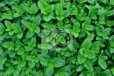 Sticker plante de menthe verte en croissance au potager