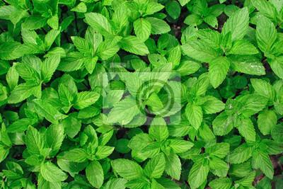 Sticker Plante Menthe