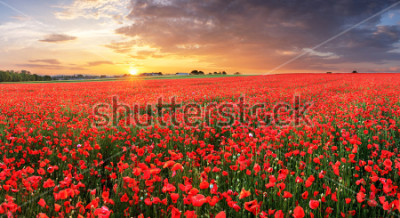Sticker Poppy flowers meadow and nice sunset scene