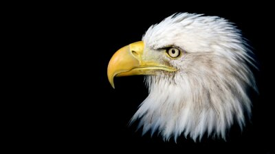 Sticker Portrait d'un aigle chauve américain contre un fond noir avec place pour le texte
