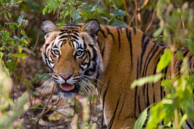 Sticker Portrait d'un tigre dans la nature. Inde. Parc national de Bandhavgarh. Madhya Pradesh. Une excellente illustration.