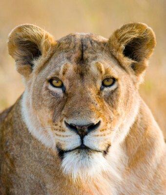 Sticker Portrait d'une lionne. Fermer. Kenya. Tanzanie. Maasai Mara. Serengeti. Une excellente illustration.