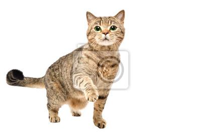 Sticker Portrait de charmant chat curieux Scottish Straight permanent avec patte surélevée, isolé sur fond blanc
