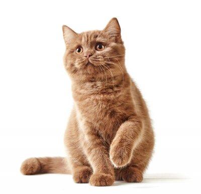 Sticker portrait de chaton britannique