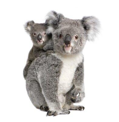 Sticker Portrait de Koala ours, en face de fond blanc