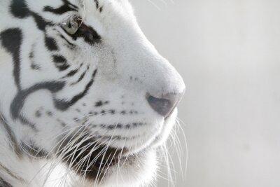 Sticker Porträt Weißer Tiger