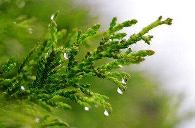 Rain drops on Thuja branch close up. Nature background.