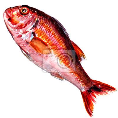 Red Fish mulet aquarelle isolé sur fond blanc