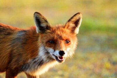 Sticker Red fox Portrait