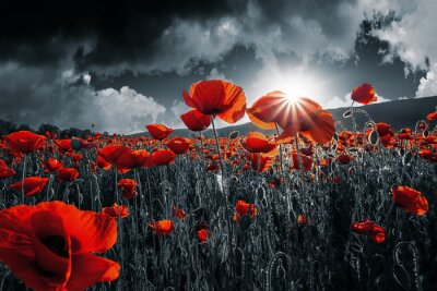 Sticker red poppies in the field. background imagery for remembrance or armistice day on 11 of november. dark clouds on the sky. selective color