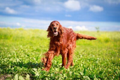 Sticker Red Setter irlandais chien
