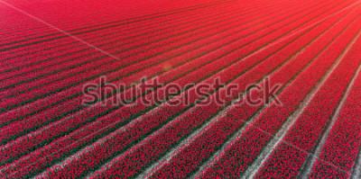 Sticker Red tulip field Netherlands