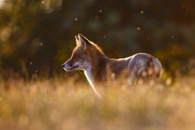 Sticker renard roux dans une belle lumière