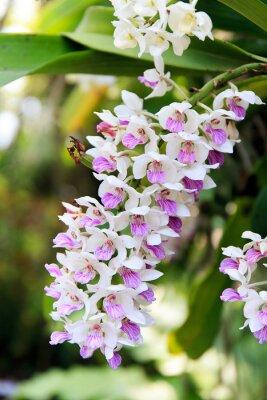 Sticker Rhynchostylis orchidée.