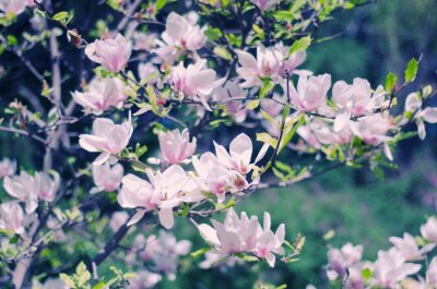 Sticker Rose, magnolia, fleurs, beau, floral, ressort, fond, (shallow dof, retro, Style)