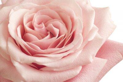 Sticker Rose, rose, gros plan