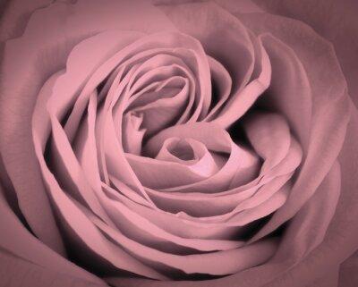 Sticker Rose, rose, gros plan, fond Carte de voeux d'amour romantique