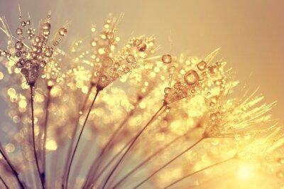 Rosée, pissenlit, fleur, coucher soleil, fin, haut