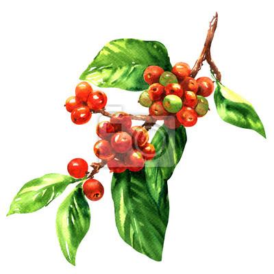 Rouge, café, arabica, haricots, branche, isolé, aquarelle, Illustration