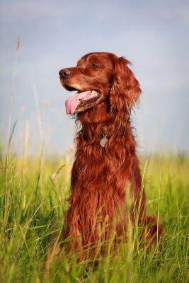 Sticker Rouge chien de poseur irlandais