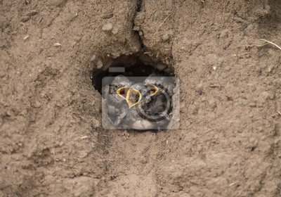 Sticker Sand Martins dans leur nid dans un banc de sable, appelant à la nourriture