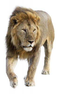 Sticker Sauvage libre itinérance lion mâle contre un fond blanc