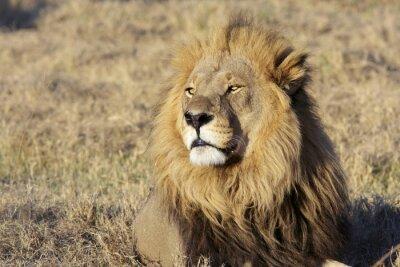 Sticker Sauvage mâle portrait de lion