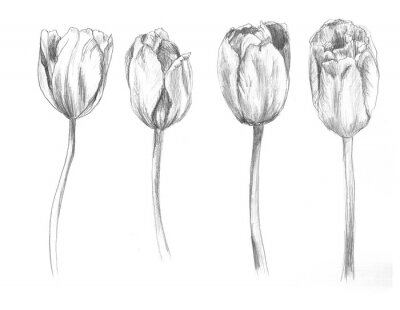 Sticker Set of hand drawn tulips. Sketch, flower, illustration