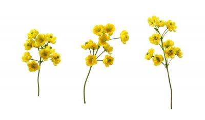 Sticker Set of small yellow flowers of berberis thunbergii isolated