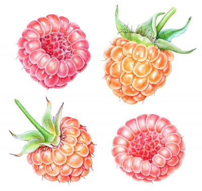 Sticker Set of watercolor raspberries on white background