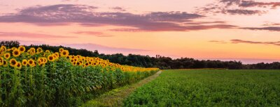Sticker Sunflowers' field under sunset