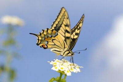 Sticker Swallowtail se nourrissant de fleurs Lantana. Vitesse d'obturation lente pour capturer l'aile flottant.